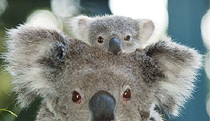 Billabong Koala and Wildlife Park - Kempsey Accommodation