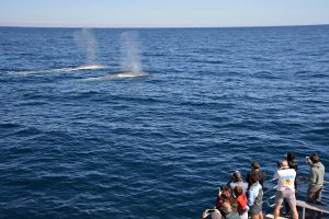 Blue Whale Perth Canyon Expedition - Kempsey Accommodation